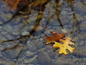 leaf-leaves-streams-water-reflections_w725_h544