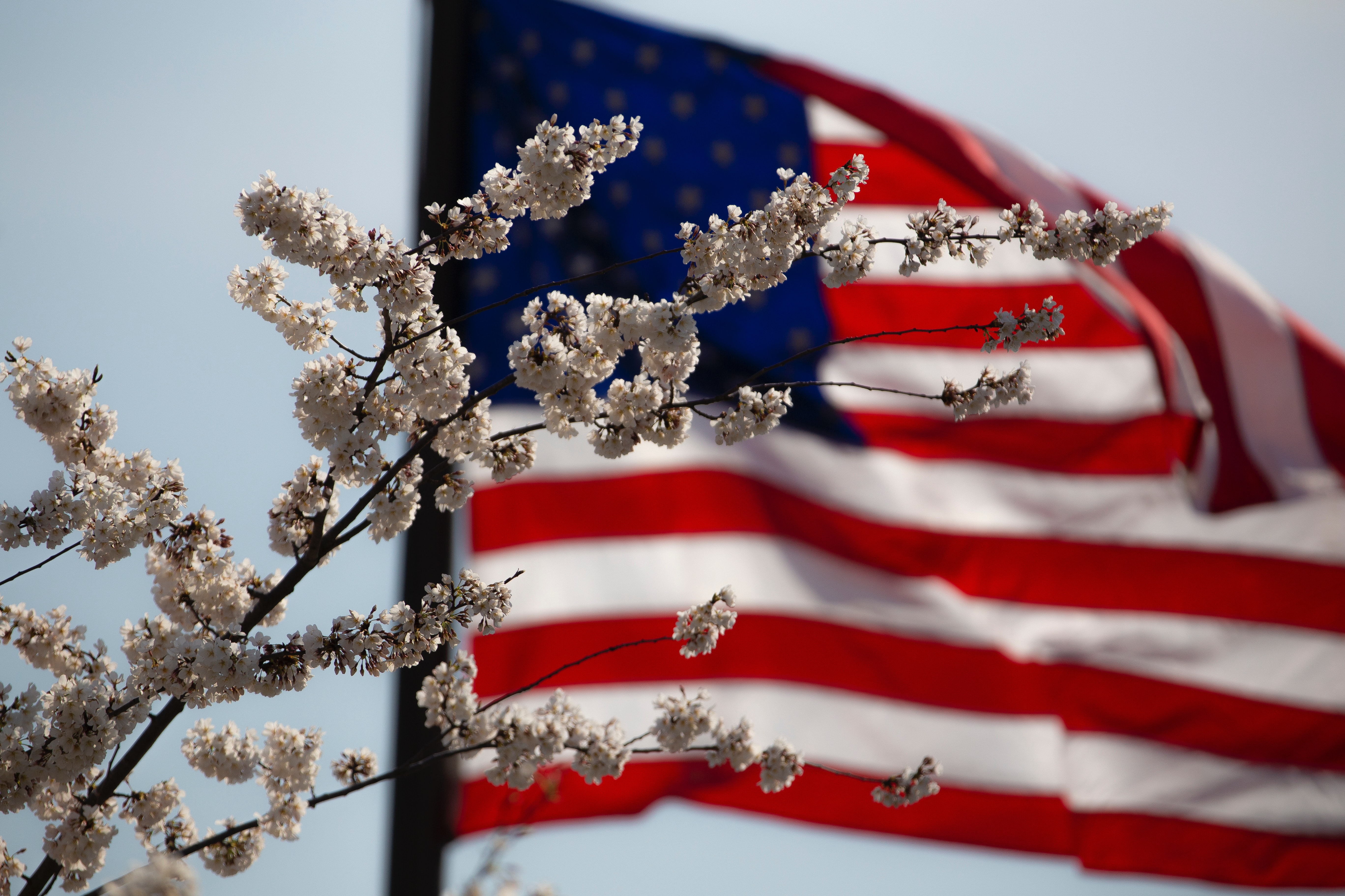 american flag, cherry blossoms, patriotic music